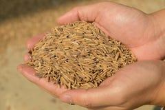 Рука держа золотые семена падиа Стоковые Изображения RF