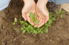 Рука держа листья базилика Стоковые Фотографии RF