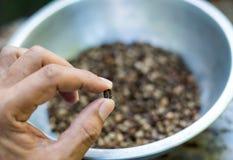Рука держа семя кофе стоковое изображение rf