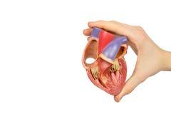 Рука держа сердце модели открытое человеческое на белизне стоковое изображение rf