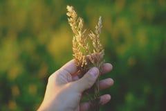 Рука держа траву поля перед расплывчатой предпосылкой Стоковые Изображения RF