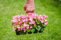 Рука держит контейнер розовой бегонии цветения в саде Стоковые Фото
