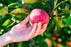 Рука женщины выбирая красное яблоко от дерева Стоковые Фото