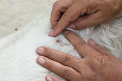 Рука женщины - выбор взрослого тикания на мехе собаки стоковые фотографии rf