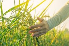 Рука женщины в поле риса утра Стоковые Изображения
