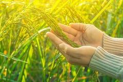 Рука женщины в поле риса утра Стоковое Фото