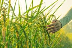 Рука женщины в поле риса Стоковые Изображения