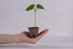Рука женщины держа молодой зеленый росток Концепция весеннего времени жизнь новая Стоковое Изображение