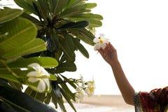 Рука женщины на изолированных frangipani или цветке plumeria Стоковые Изображения RF