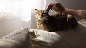 Рука женщины нежно ласкает кота на софе видеоматериал