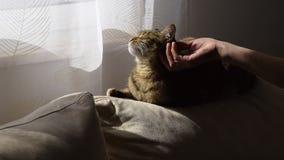 Рука женщины нежно ласкает кота на софе сток-видео