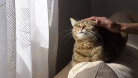 Рука женщины нежно ласкает кота на софе акции видеоматериалы