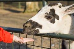 Рука женщины подавая запятнанный лам Стоковое Изображение
