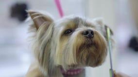Рука женщины холя послушный doggy Милый небольшой йоркширский терьер получая его отрезок волос на groomer Прелестный видеоматериал
