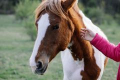 Рука женщины штрихуя лошадь Лошадь выглядит недоверчивой Любовник любимца стоковое фото rf