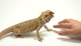 Рука женщин штрихует ужасного ящериц-дракона Агама бородатая, любимец сток-видео