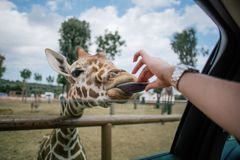 Рука жирафа и человека в зоопарке Италии сафари apulia Fasano Стоковая Фотография