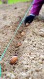 Рука засаживая картошки Стоковая Фотография RF