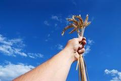 рука зерна Стоковые Изображения