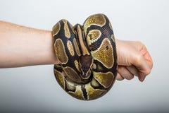 рука змейки: Королевский питон Стоковые Фотографии RF