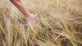 Рука и золотая пшеница видеоматериал