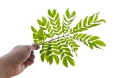 Рука и листья Стоковые Изображения
