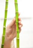 Рука касаясь нежно молодым бамбукам Стоковые Изображения