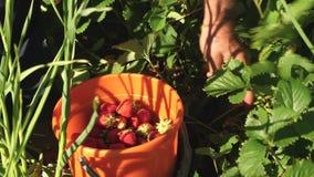 Рука комплектует красную клубнику от куста и кладет ее в ведро фермер жмет зрелую ягоду рука садовника акции видеоматериалы