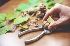 Рука кладет грецкий орех в разделять Щелкунчика Стоковые Изображения
