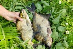 Рука кладет листья папоротника 3 больших басовых рыбы Стоковое фото RF