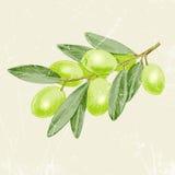 Рука нарисованная винтажной оливковой ветки изображения также вектор иллюстрации притяжки corel Стоковые Изображения