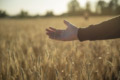 Рука на пшеничном поле стоковое фото rf