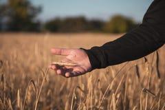 Рука на пшеничном поле стоковые изображения rf