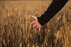 Рука на пшеничном поле стоковое фото
