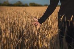Рука на пшеничном поле стоковые изображения
