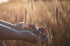 Рука на пшеничном поле стоковые фотографии rf