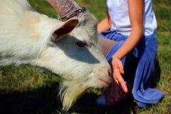 Рука обнюхивая девушки молодой козы Стоковая Фотография RF
