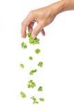 Рука падая зеленые листья кориандра Стоковая Фотография