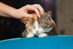 Рука персоны штрихуя голову милого кота имбиря Стоковые Изображения RF