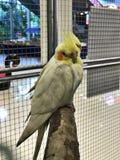 Рука подняла птиц попугая cockatiels Стоковые Изображения