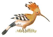 Рука покрасила иллюстрацию на бело- птице, удоде бесплатная иллюстрация