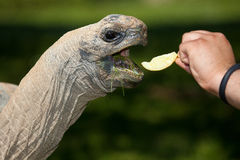 Рука подавая гигантская черепаха Стоковое фото RF