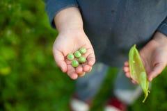 Рука ребенка гороха Стоковая Фотография