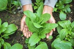Рука садовника держа свежий салат кантонский в ферме Стоковые Фото