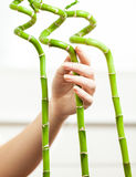 Рука с бамбуком маникюра касающим декоративным Стоковые Фотографии RF