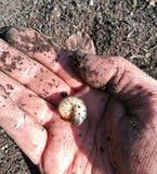 Рука с личинками от мерцающего жука стоковое фото rf