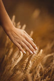 Рука с маникюром штрихует wheaten колоски Стоковое фото RF