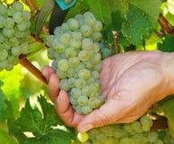 Рука с пуком зеленых виноградин Стоковое Изображение RF