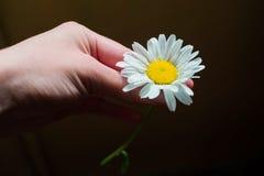 Рука с стоцветом на черной предпосылке Стоковая Фотография RF