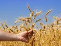 Рука с шипами пшеницы Стоковая Фотография
